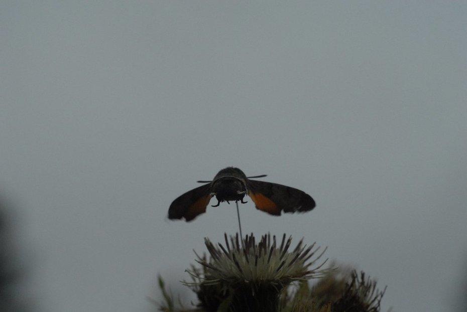 Kolibrievlinder op moesdistel