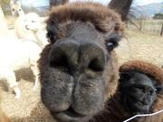 Alpaca's in de Drome