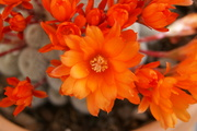 Makro opname cactusbloem