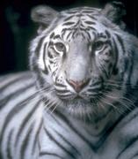 _tigrebranco