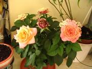 as minhas rosa
