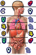 organos-cuerpo-humano-3