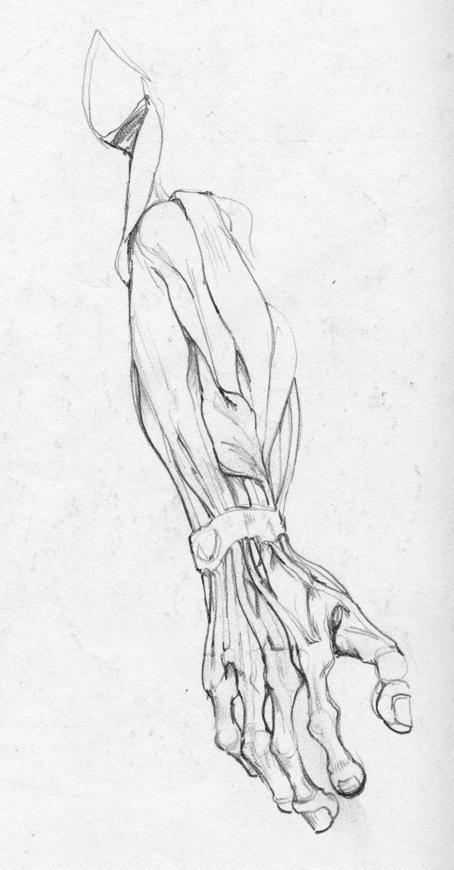 Cadaver Arm 2