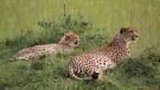 Apair of Cheetahs