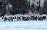 Elk in the pasture