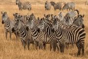 east-africa-zebras