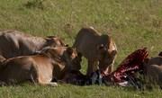 lion-feeding-african-paradise-safaris
