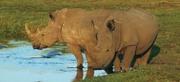 lewa-wildlife-conservancy-rhinos