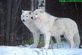 Pair Of White Wolves