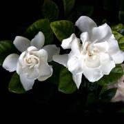 Gardinia - my favorite flower