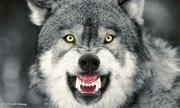 snarling wolf