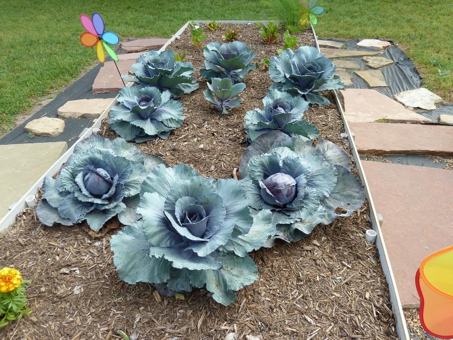 cabbage 2010