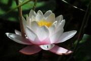 bloemen-beelden-waterlelies-mooie-bloemen-beelden-hh_ni325494[1]