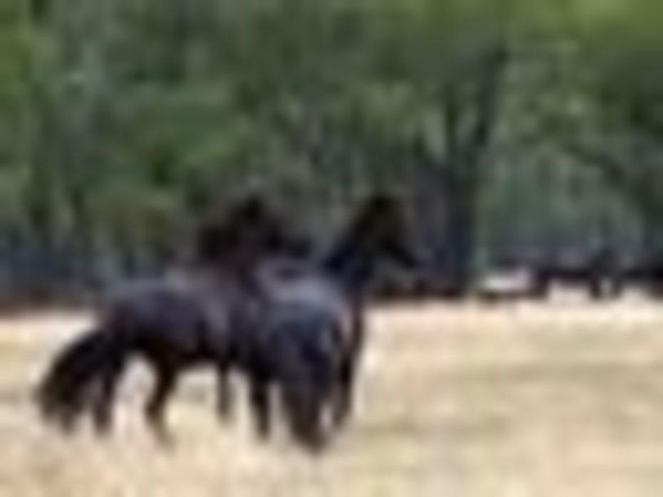 Joel Higgs - wild black geldings