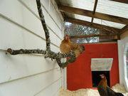 Chickens! 2010