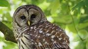 Barred Owl at VanDusen