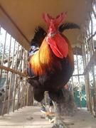 Sicilian chiken