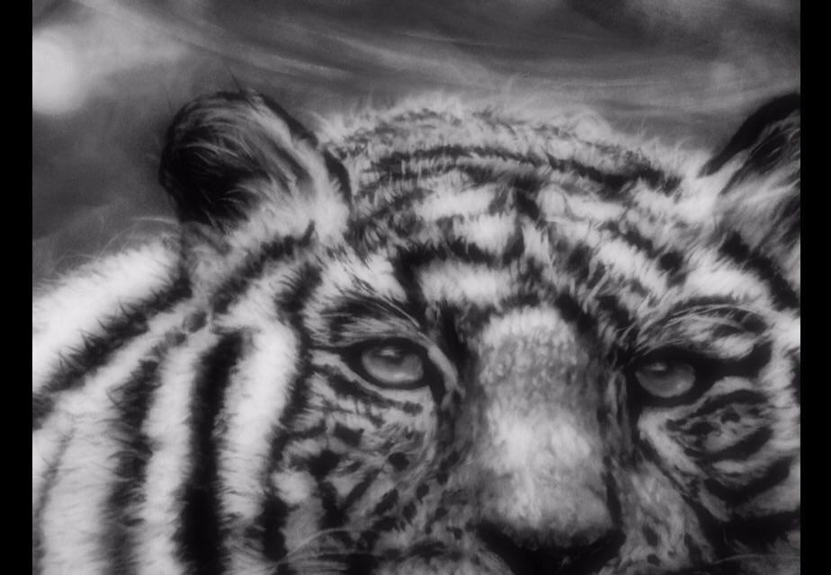 White tiger close up