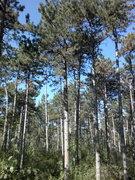 Pinus nigra / Austria
