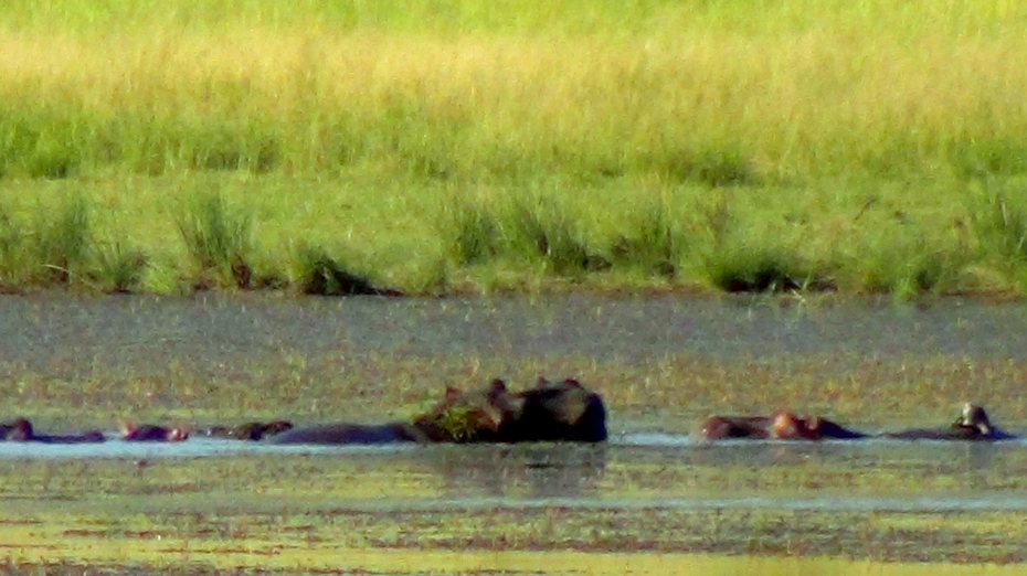 Hippos in river