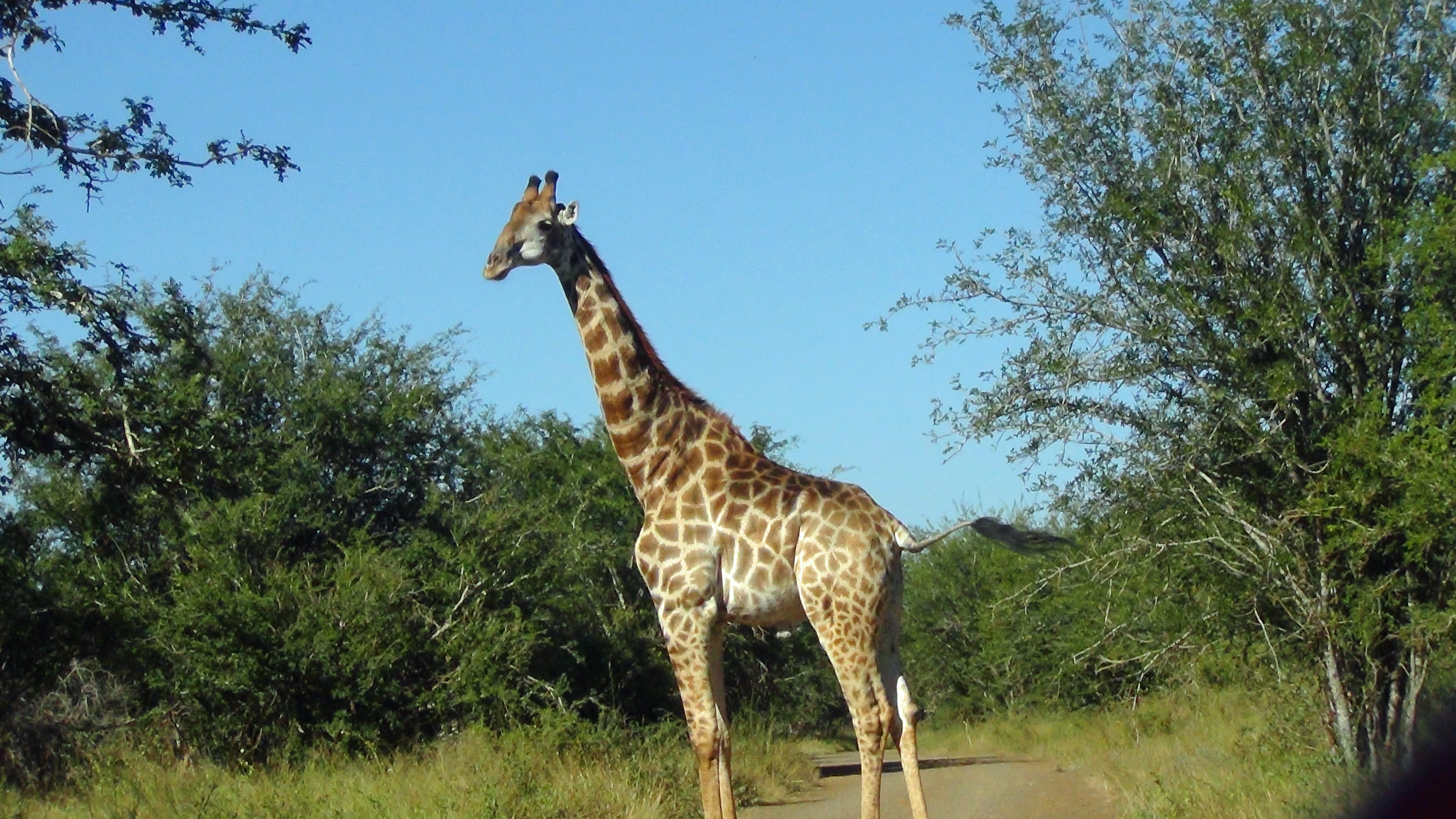 Giraffee in the road