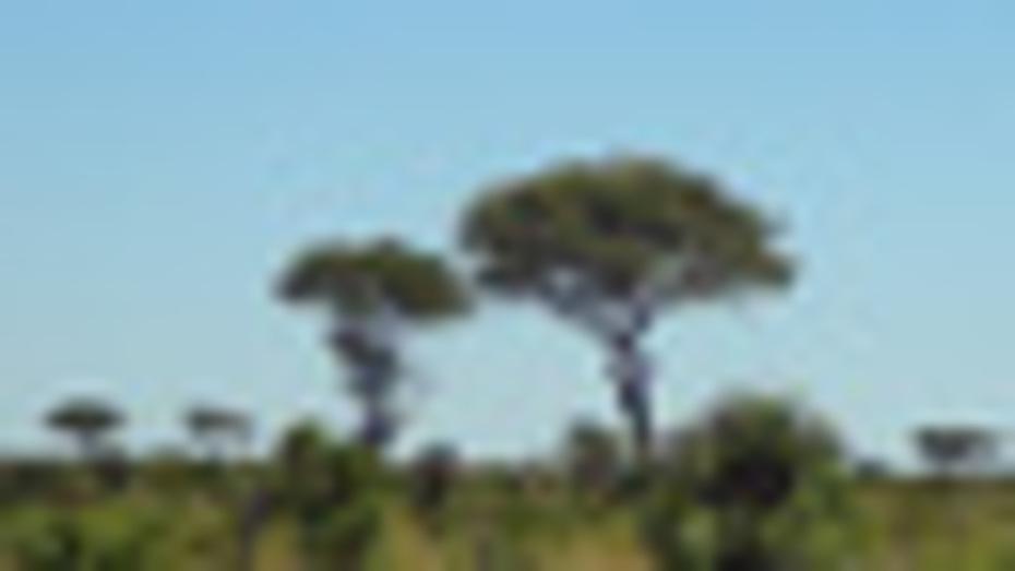 Acadia trees
