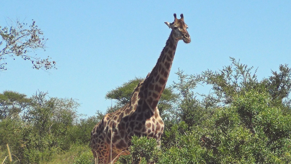 Giraffe by the road