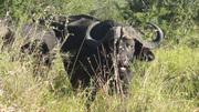 Cape buffalo in grass
