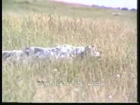 Working English setter/Italy/