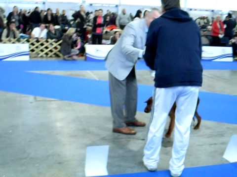 baby class breed ring placings, Celje EDS