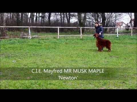 Mayfred MR MUSK MAPLE 'Newton'