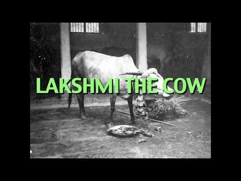 Talks on Sri Ramana Maharshi: Narrated by David Godman - Lakshmi the Cow