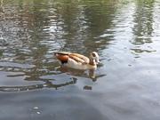 Eygptian goose - Beddington Park