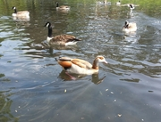 Egyptian Goose in Beddington Park