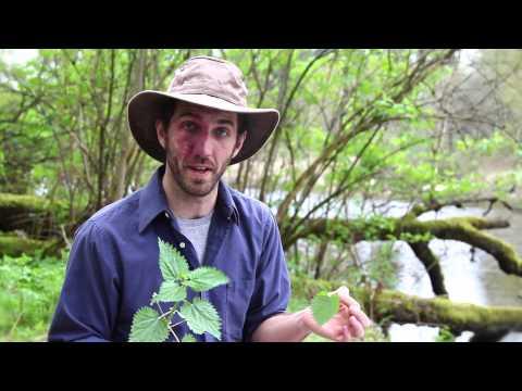 Urban Wild Foraging - Nettles