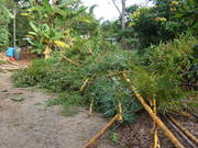 The yellow stemmed bamboo we removed