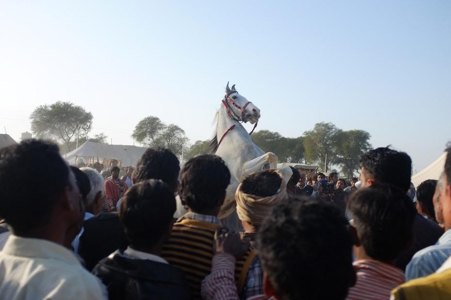 Marwari Hanumungarh Horse Fair