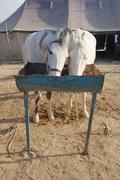 Filming in INDIA Marwari - War Horse of the Maharaja