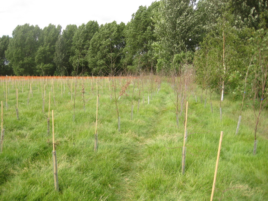 dead Eastern fringe trees