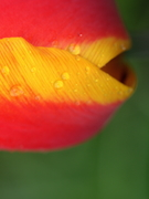 Rainy Day Tulip