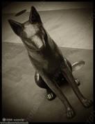 saint coyote