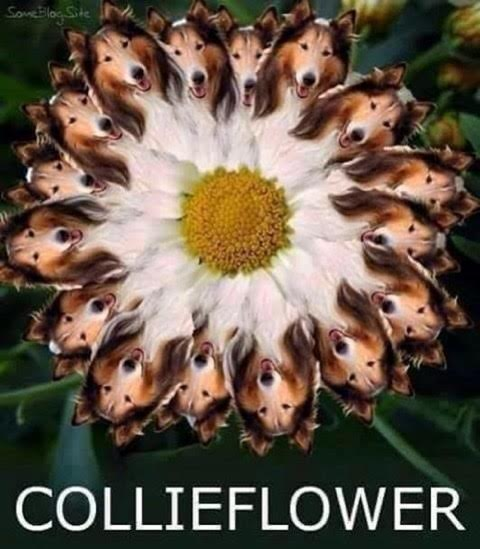 collieflower