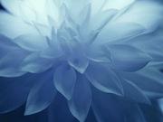 Flor_azul[1]