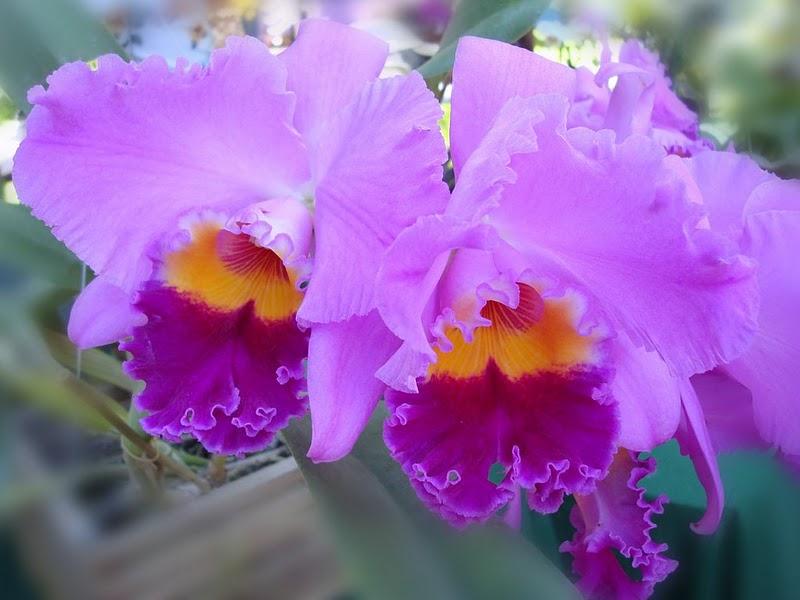 laeliocattleya-drumbeat-triumph-dsc00932