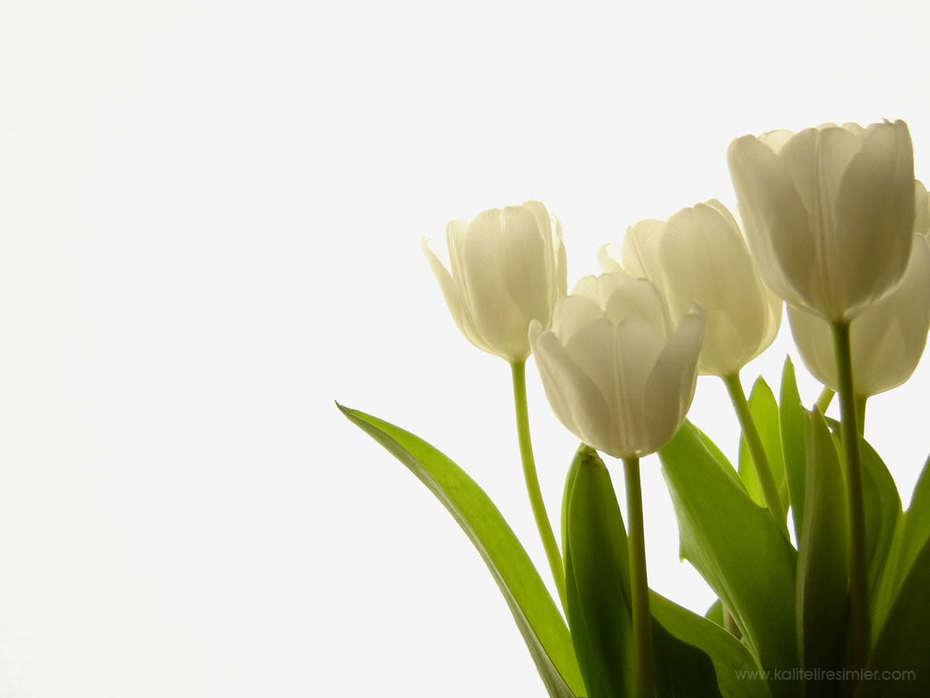 tulipas00000000000