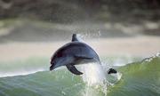 golfinhos-surfistas_f_004