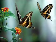 borboletasbailandonoar