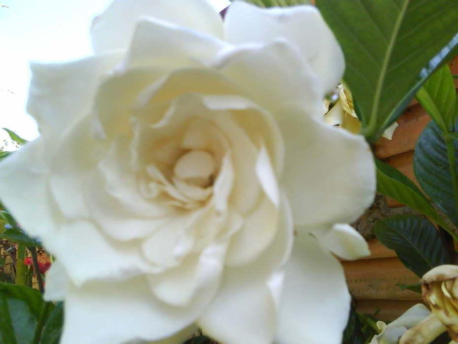 Jasmim, o perfume dos anjos
