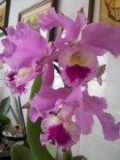 Minhas orquídeas.