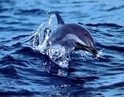 golfinho1